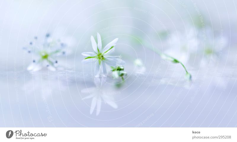 fein und leicht und weiß und blau schön Wellness Leben harmonisch Wohlgefühl Erholung Duft Pflanze Luft Wasser Stern Frühling Sommer Blume Blatt Blüte Glas