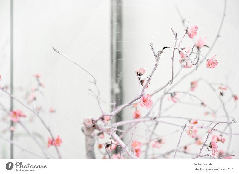 Frühlingserwachen Natur Pflanze schön Sommer weiß Blume ruhig Haus Leben Blüte Liebe natürlich Stil Holz Kunst