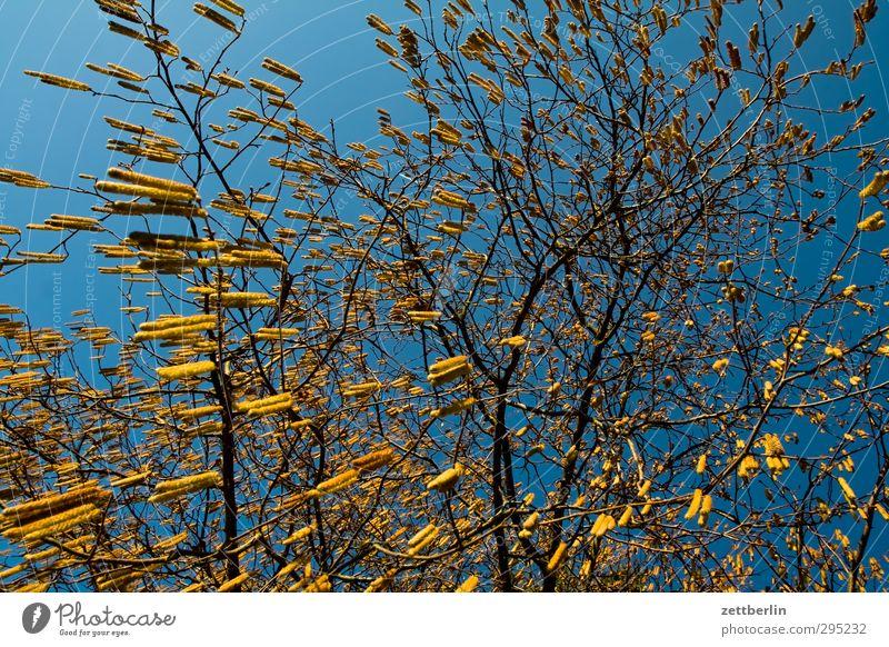 Pollenalarm Sonne Himmel Haselnuss Haselnussblatt Sträucher Baum Zweig Blüte Pollenflug lämmerschwanz Nuss Frühling Pflanze Wolkenloser Himmel Schönes Wetter