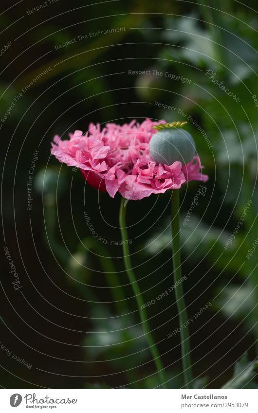Mohnblume mit unscharfem Hintergrund. Kräuter & Gewürze Bioprodukte Vegetarische Ernährung schön Sommer Sonne Garten Umwelt Natur Pflanze Blume Blatt Blüte