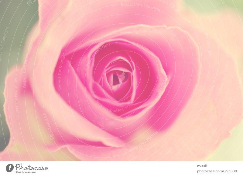 every rose has it's thorn Pflanze Rose Blüte hell schön rosa Leben Kitsch Schwarzweißfoto Gedeckte Farben Innenaufnahme
