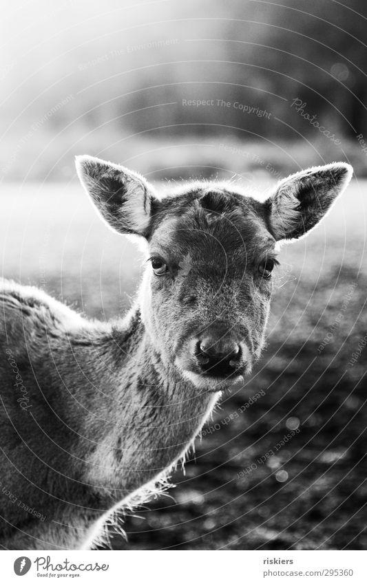 glowing deer iii Tier ruhig Wiese Herbst Frühling Kraft warten Schönes Wetter Idylle beobachten Vertrauen Wachsamkeit Reh geduldig Akzeptanz
