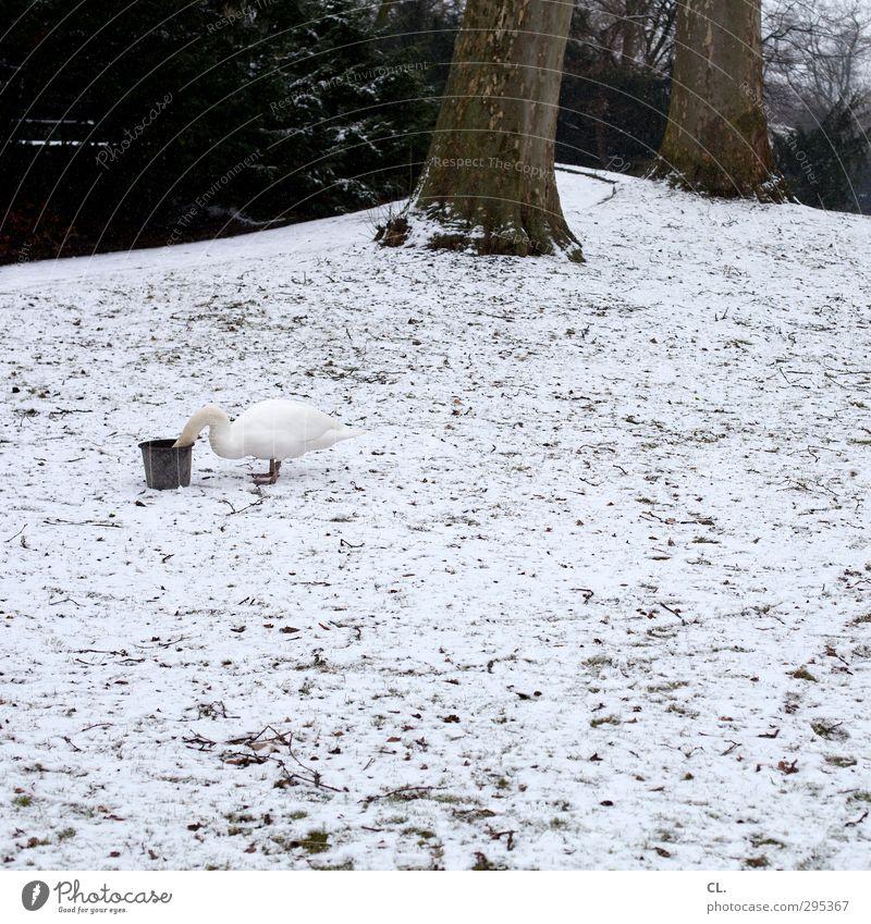 schwan im eimer Natur Landschaft Erde Winter Eis Frost Schnee Baum Park Wiese Feld Tier Schwan 1 Fressen füttern trinken kalt lustig gefräßig Alkoholsucht Eimer