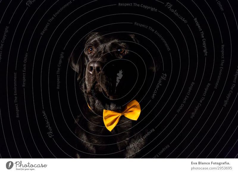 Schöner schwarzer Labrador mit Fliege über schwarzem Hintergrund Lifestyle elegant Freude schön Freizeit & Hobby Sommer Freundschaft Erwachsene Tier Haustier