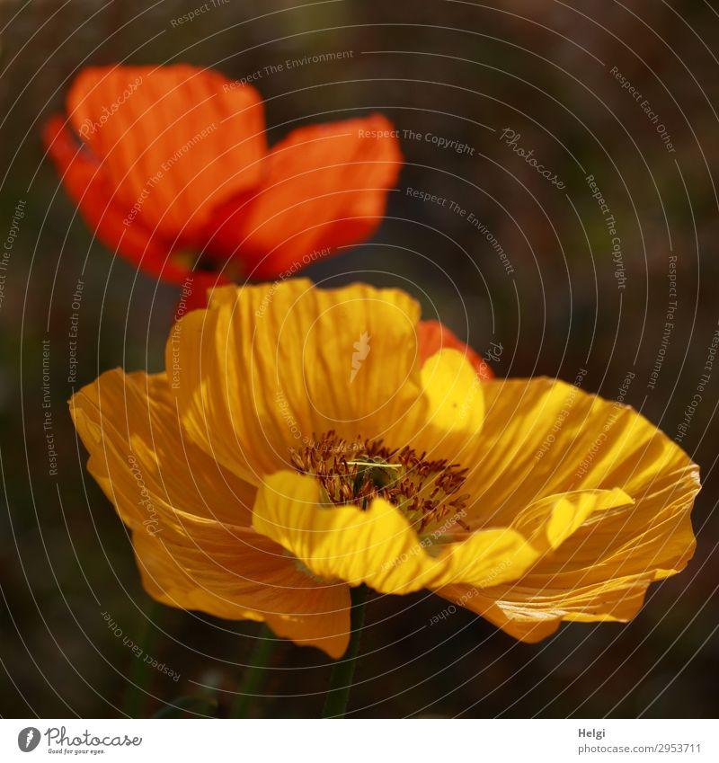 Islandmohn Natur Pflanze schön grün rot Blume gelb Umwelt Blüte Frühling natürlich Garten braun leuchten Wachstum ästhetisch