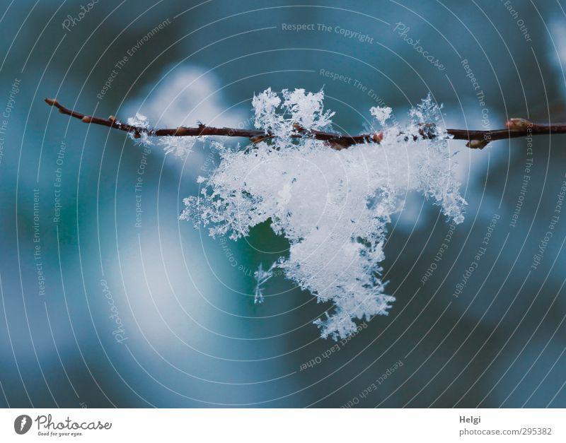 Frühlingsflocken... ;-) Umwelt Natur Winter Eis Frost Schnee Pflanze Zweige u. Äste glänzend hängen ästhetisch außergewöhnlich frisch schön einzigartig kalt