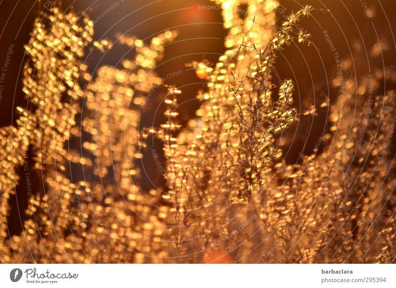 Goldregen für den Goldjungen Natur Pflanze Sonne Umwelt Wärme Gefühle Frühling Stimmung gold glänzend Wachstum leuchten Energie Schönes Wetter Sträucher