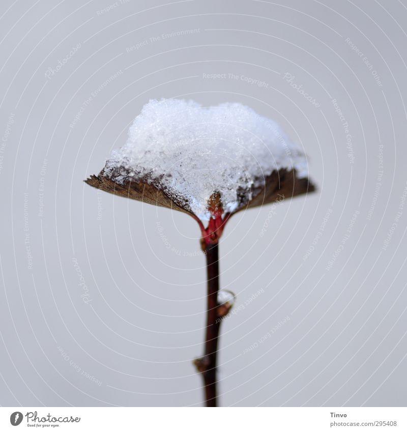 Schneekuß weiß Pflanze rot Blatt Winter kalt Frühling grau braun einfach Jahreszeiten Klimawandel Wildpflanze