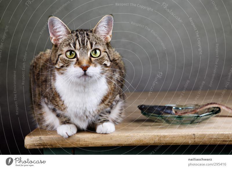 Katze mit dem Fisch Ernährung Mittagessen Diät Teller Tier Haustier 1 beobachten entdecken Essen glänzend füttern Blick warten frech Freundlichkeit Fröhlichkeit