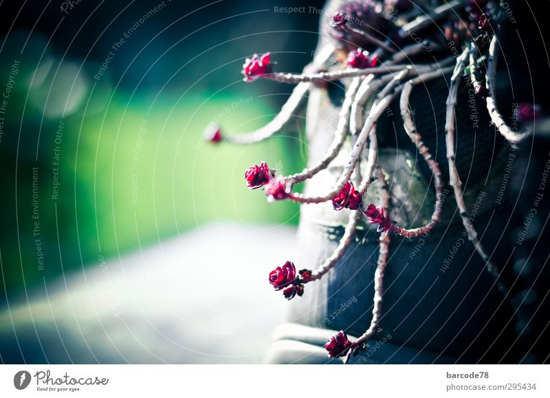 Hauswurz mal anders Natur Pflanze Tier Wildpflanze Garten Bewegung toben Wachstum exotisch fantastisch frech rebellisch grün rot schwarz Frühlingsgefühle