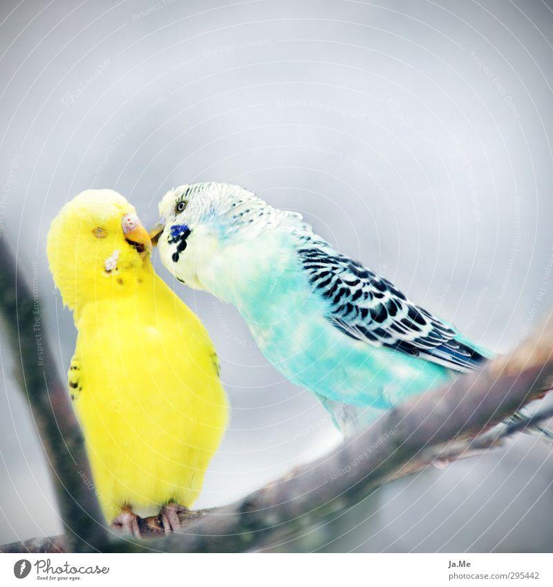 Was sich liebt, das neckt sich Umwelt Himmel Tier Haustier Vogel Flügel Wellensittich 2 Schwarm Tierpaar Küssen Freundlichkeit Zusammensein Glück blau gelb grau