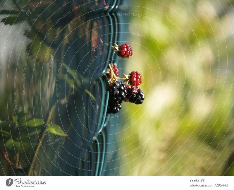 Ein Traum vonBrombeeren Natur Sommer Pflanze ruhig Zufriedenheit Ausdauer geduldig Wildpflanze
