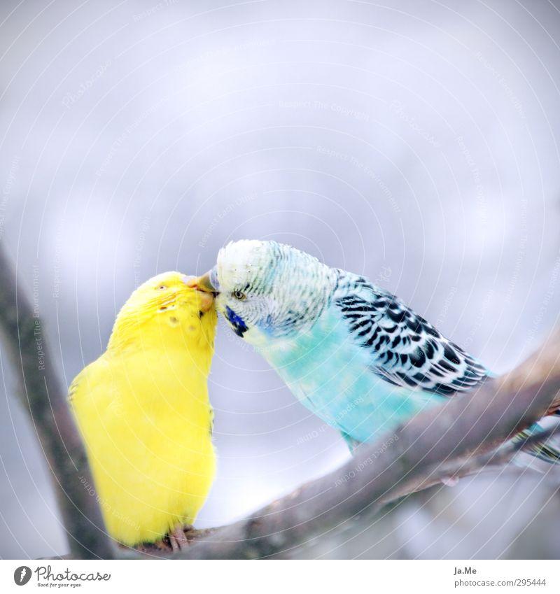 Der Kuss Umwelt Tier Wildtier Vogel Tiergesicht Flügel Wellensittich 2 Schwarm Tierpaar füttern Küssen Zusammensein Glück blau gelb grau Gefühle Liebe Tierliebe