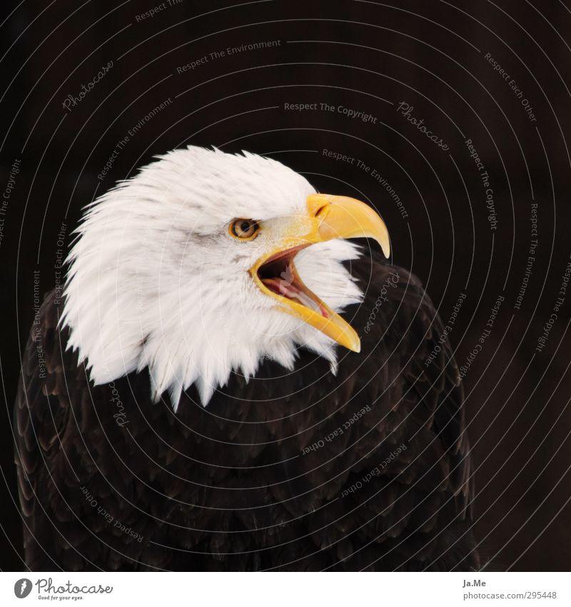 Der Schreihals Tier Wildtier Vogel Tiergesicht Flügel Adler Weisskopfseeadler Greifvogel Schnabel 1 schreien braun gelb weiß Willensstärke Macht Farbfoto