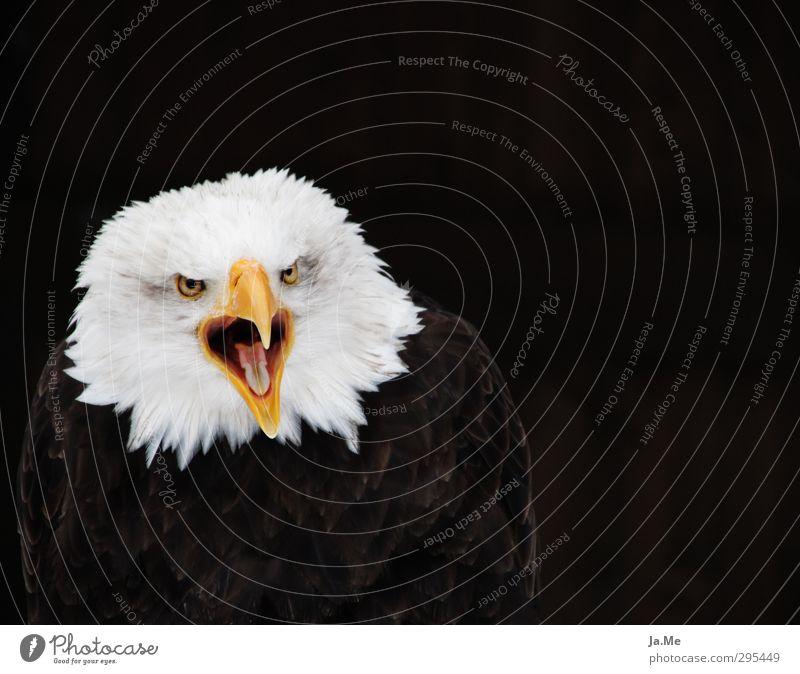 Haliaeetus leucocephalus Tier Wildtier Vogel Tiergesicht Flügel Adler Weisskopfseeadler Greifvogel Schnabel 1 schreien frech Farbfoto mehrfarbig Außenaufnahme