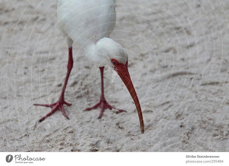 Schneesichler Tier Frühling Strand Wildtier Vogel 1 berühren Fressen stehen exotisch lang natürlich Neugier dünn Spitze grau rot weiß Schnabel Beine Suche
