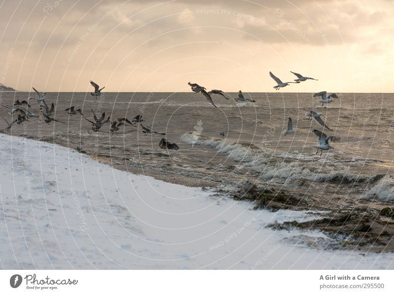 V Umwelt Natur Landschaft Tier Urelemente Sand Himmel Horizont Sonne Winter Schönes Wetter Schnee Ostsee Meer Vogel Möwenvögel Tiergruppe Schwarm fliegen wild