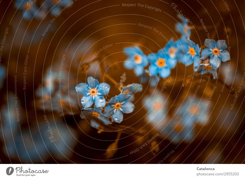 900 Erinnerungen Natur Pflanze Wassertropfen Frühling schlechtes Wetter Regen Blatt Blüte Wildpflanze Vergißmeinnicht Garten Wiese Blühend Duft schön klein blau