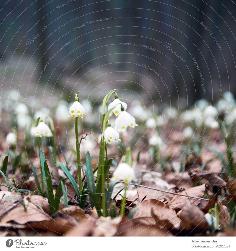 Waldfrühling Natur Pflanze Erde Frühling Blume Wildpflanze Blühend Leben Beginn Duft Märzenbecher Frühlingsblume Waldboden Farbfoto Außenaufnahme Menschenleer