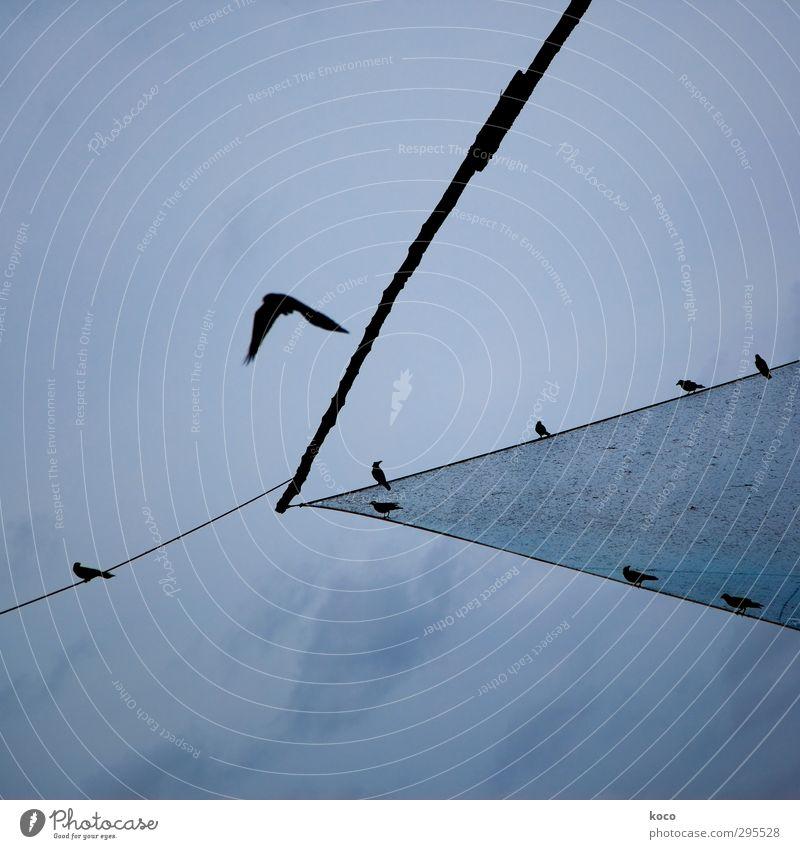 es fliegt es fliegt es fliegt ... Himmel blau Sommer Tier Wolken schwarz Luft Linie Vogel Zusammensein fliegen Wildtier sitzen Luftverkehr Tiergruppe Spitze