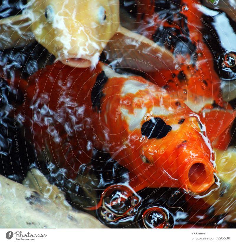 Nach Luft schnappen Umwelt Natur Tier Urelemente Wasser Teich See Fisch Schuppen hell nass natürlich Koi Karpfen Farbfoto mehrfarbig Außenaufnahme Nahaufnahme