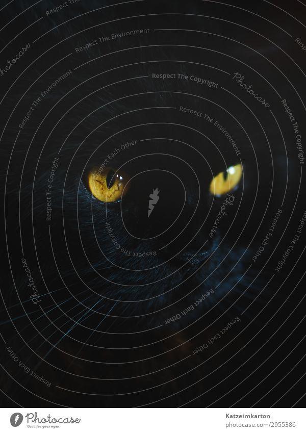 Die Augen einer Katze Tier Haustier Tiergesicht Fell 1 Denken glänzend leuchten Blick träumen authentisch Coolness elegant schön schwarz Kraft Schwarze Katze
