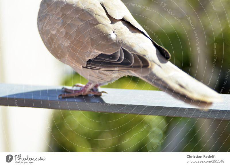 Taube Natur Tier Wildtier Vogel 1 füttern Flügel Federvieh Balkon motiv Krallen grau Farbfoto Außenaufnahme Textfreiraum unten Tag Sonnenlicht