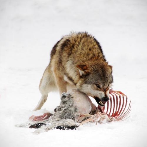 Komm mir nicht zu nahe! Hund weiß rot Tier dunkel Tod braun Kraft Wildtier bedrohlich beobachten Macht Gebiss Tiergesicht Appetit & Hunger Wut