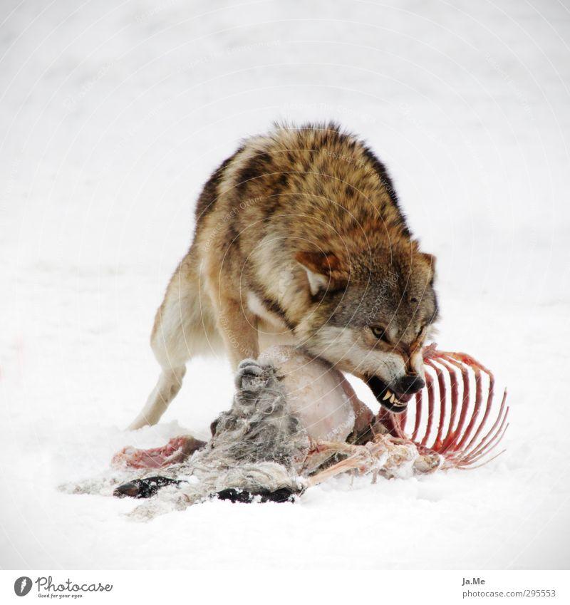 Komm mir nicht zu nahe! Tier Wildtier Totes Tier Hund Tiergesicht Krallen Wolf Ziegen kadaver Gebiss Knurren 1 beobachten fangen Fressen füttern Jagd kämpfen