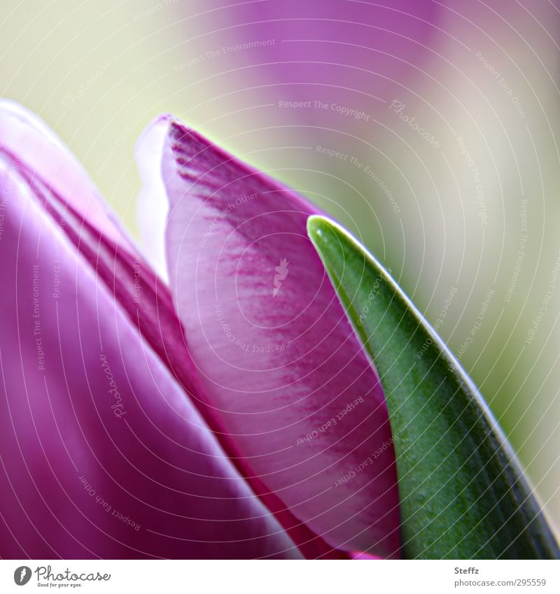 spring feeling Tulpe Tulpenblüte blühende Tulpe Frühlingsblume Blüte anders nah lilarosa dezent grün Romantik Frühlingstag Frühlingsfarbe April Mai violett