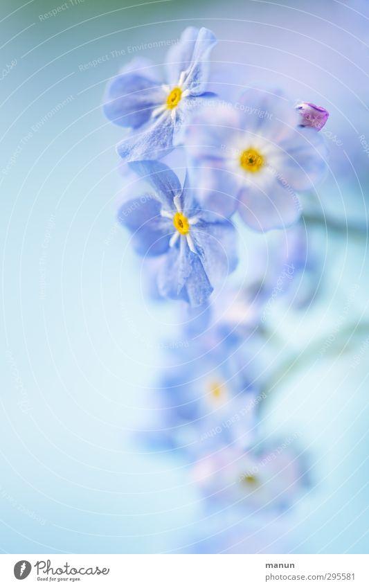 babyblau Natur blau Pflanze Blume Frühling Blüte hell natürlich Frühlingsgefühle Frühlingsblume Vergißmeinnicht