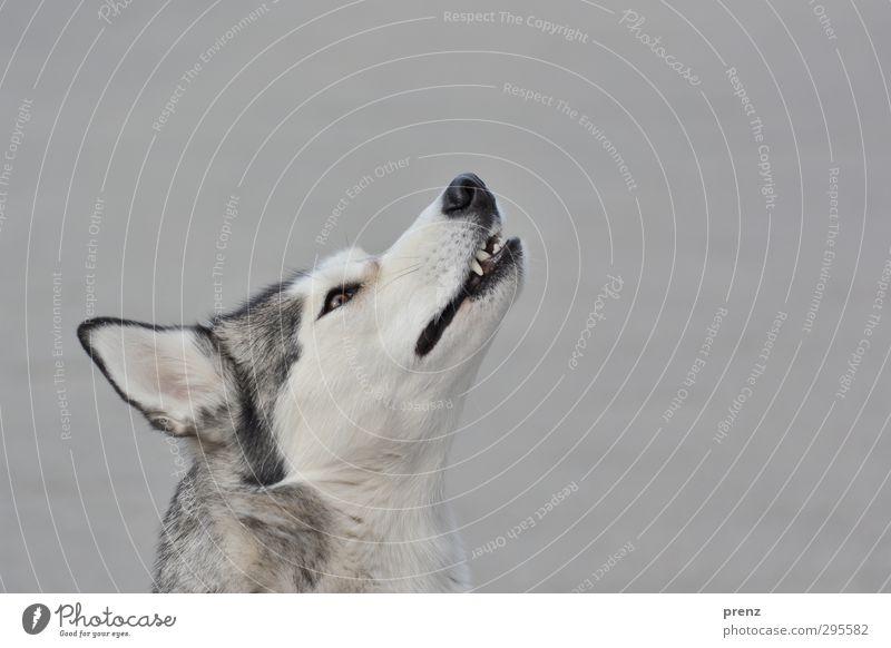mit den Wölfen... Tier Haustier Nutztier Hund 1 grau Husky Schlittenhund Kopf Rassehund Farbfoto Außenaufnahme Menschenleer Textfreiraum rechts