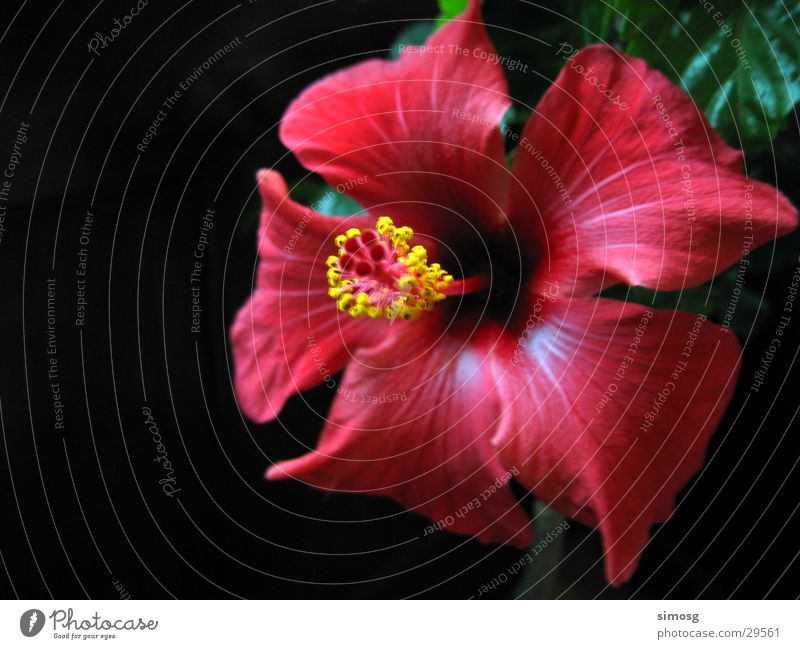 Hibiskus Natur Blume rot Blüte Hibiscus