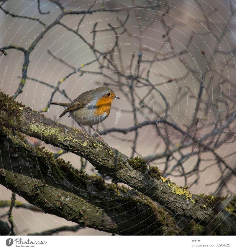 Fly robin fly Natur Tier Baum Vogel klein Ast Federn Flügel Rotkehlchen Erithacus rubecula Farbfoto Außenaufnahme