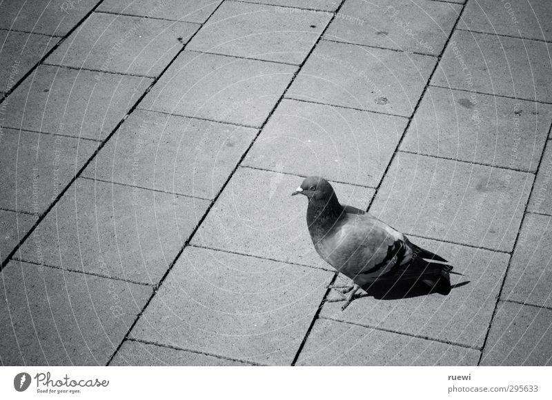urban living Umwelt Stadt Tier Wildtier Taube 1 Stein Beton beobachten stehen warten dreckig hässlich trist grau schwarz weiß Reinlichkeit Sauberkeit