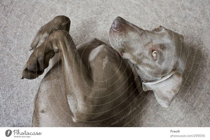 Kraul mich-bitte ! Hund schön Tier Erholung feminin Freundschaft liegen elegant genießen Fell Tiergesicht Geborgenheit Pfote Vorfreude Weimaraner Jagdhund