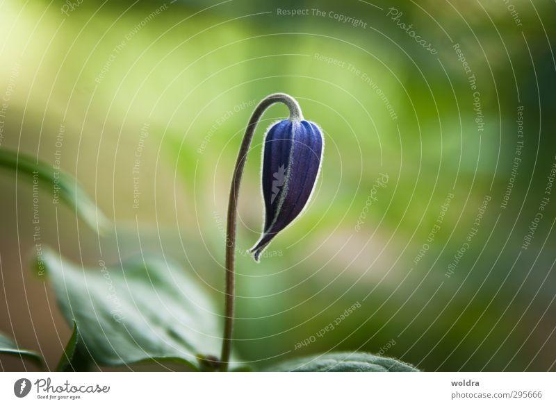 Knospe Natur blau grün schön Sommer Pflanze Blume Blatt ruhig Umwelt Wärme Leben Frühling Blüte wild elegant
