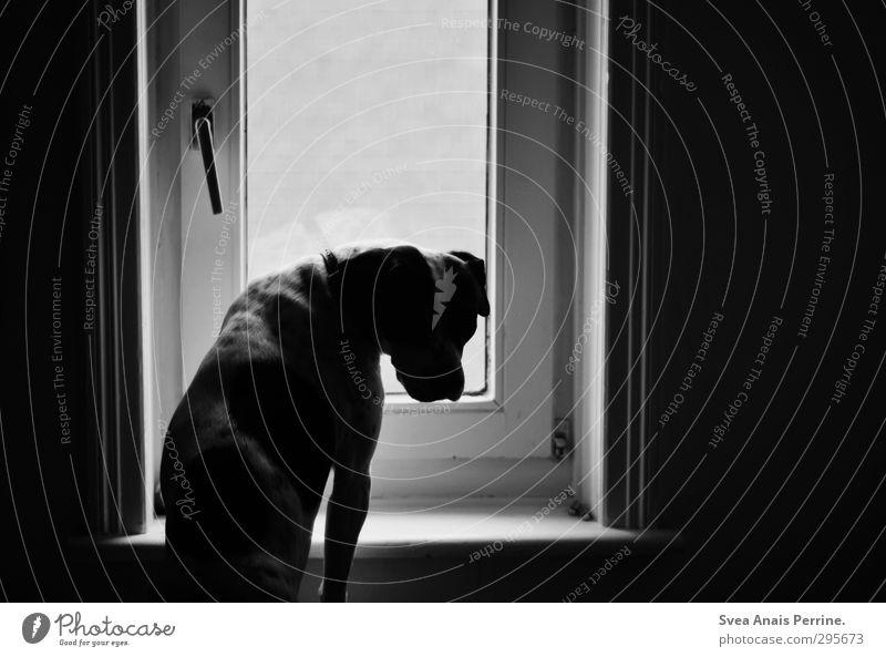 lina. Haus Tier Haustier Hund 1 Traurigkeit Autofenster Fensterbrett Boxer Schwarzweißfoto Innenaufnahme Menschenleer Licht Schatten Zentralperspektive
