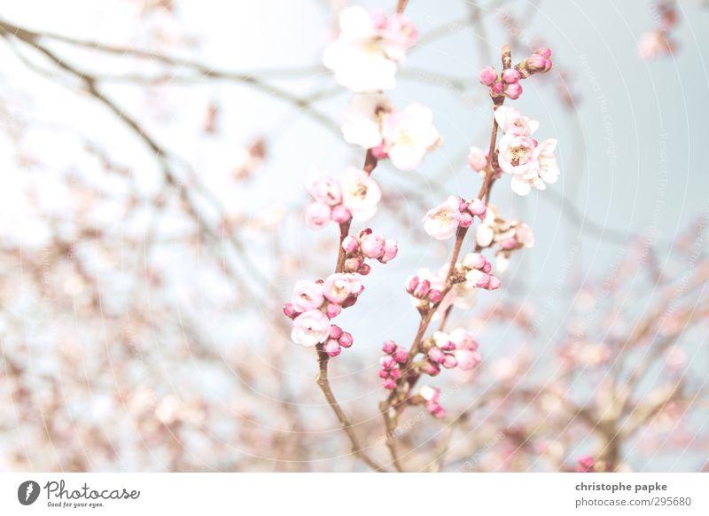 Hanami Pflanze Frühling Schönes Wetter Blüte Blühend exotisch hell Frühlingsgefühle Natur Kirschblütenfest Apfelblüte Japan Japanischer Garten Asien Farbfoto