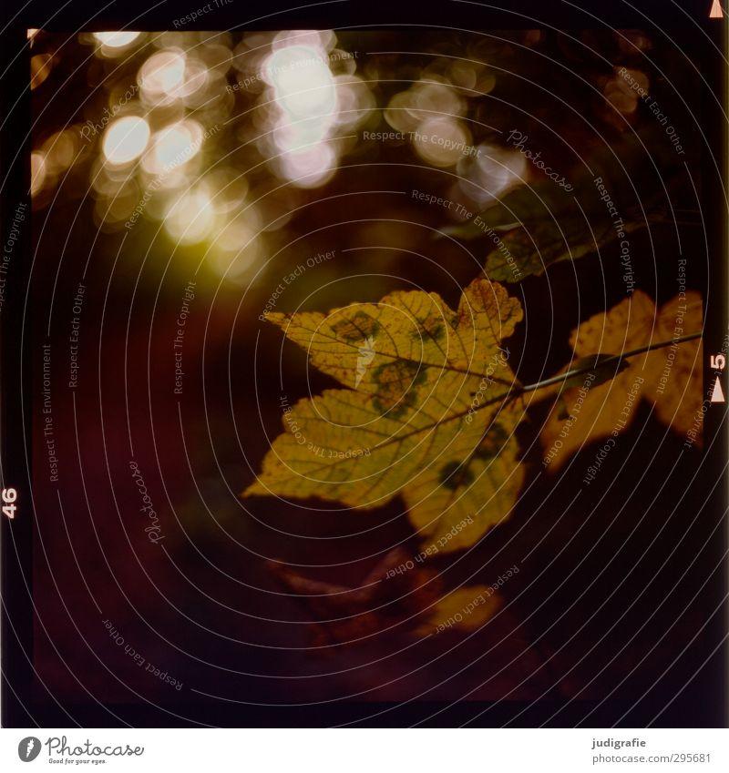 Draußen Umwelt Natur Pflanze Herbst Baum Blatt Wald dehydrieren Wachstum natürlich wild Vergänglichkeit Wandel & Veränderung Farbfoto Außenaufnahme Licht
