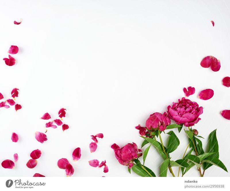 bordeauxrote blühende Pfingstrosen Sommer Feste & Feiern Natur Pflanze Blume Blüte Blühend frisch natürlich grün weiß Farbe Idee Blütenblatt Hintergrund