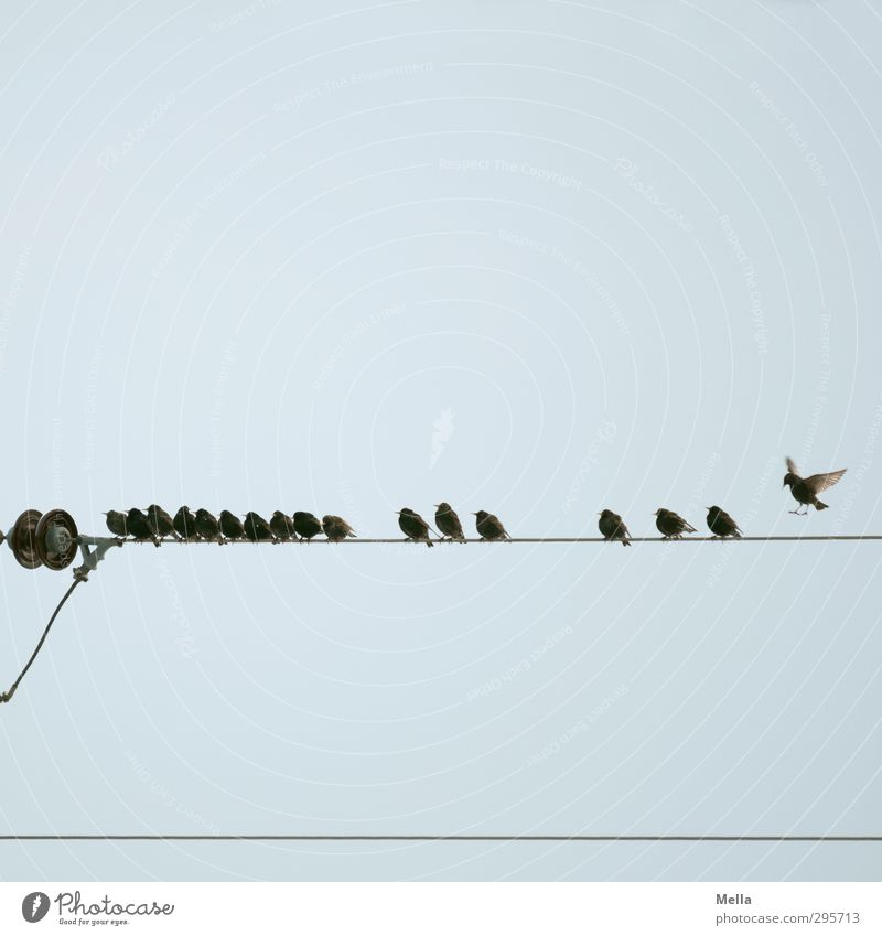 Alle Vögel sind jetzt da Kabel Leitung Hochspannungsleitung Technik & Technologie Energiewirtschaft Umwelt Natur Tier Luft Himmel Wildtier Vogel Star Tiergruppe