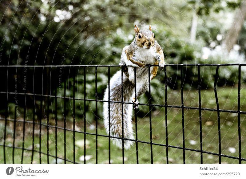 Zaungast. Körper Umwelt Natur Sonne Frühling Sommer Schönes Wetter Gras Garten Park Wiese New York City Central Park Tier Wildtier Zoo Eichhörnchen 1 Metall