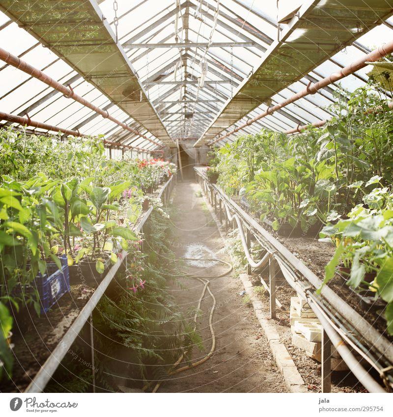 treibhaus Arbeitsplatz Gärtnerei Landwirtschaft Forstwirtschaft Natur Klima Pflanze Grünpflanze Nutzpflanze Topfpflanze Bauwerk Gebäude Gewächshaus natürlich