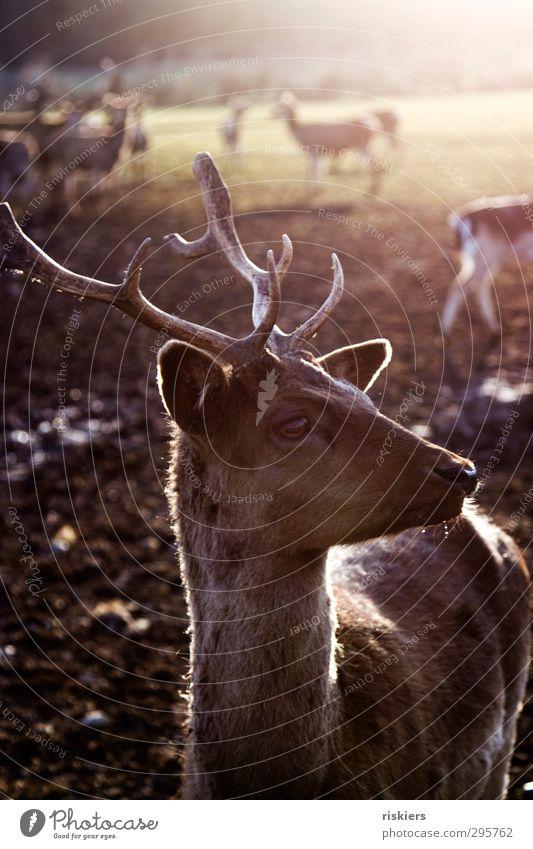 glowing deer v Natur Tier ruhig Umwelt Wiese Herbst Frühling natürlich braun Feld warten Schönes Wetter ästhetisch Tiergruppe beobachten Sicherheit
