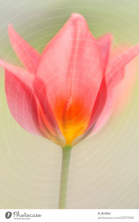 Tulpe in leuchtenden Farben ( Liliaceae ) Natur Pflanze Frühling Schönes Wetter Garten Blühend ästhetisch Duft hell schön Wärme weich mehrfarbig gelb grün