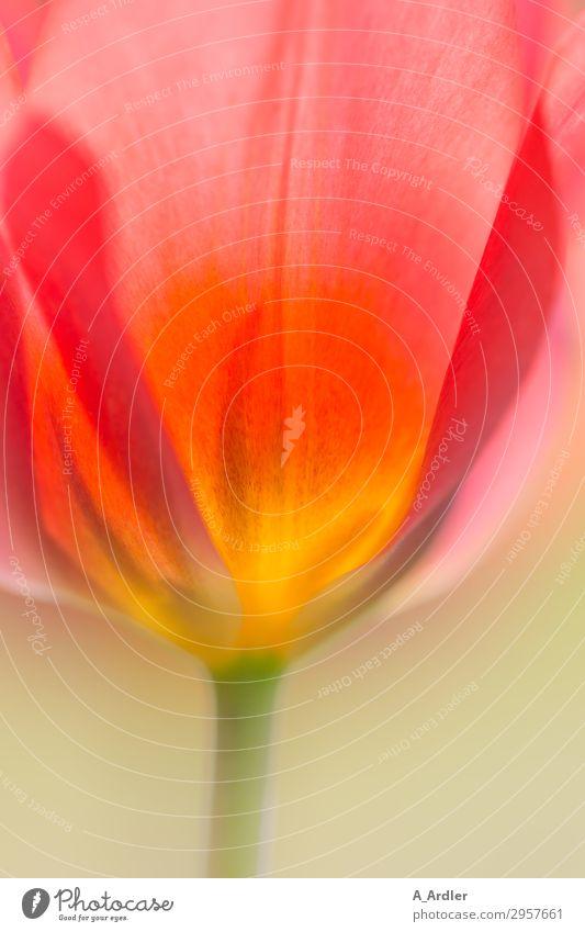 Tulpenkelch im Detail mit bunten Blütenblättern Natur Pflanze schön grün rot Gesundheit Wärme gelb Frühling Garten orange rosa frisch glänzend Wachstum