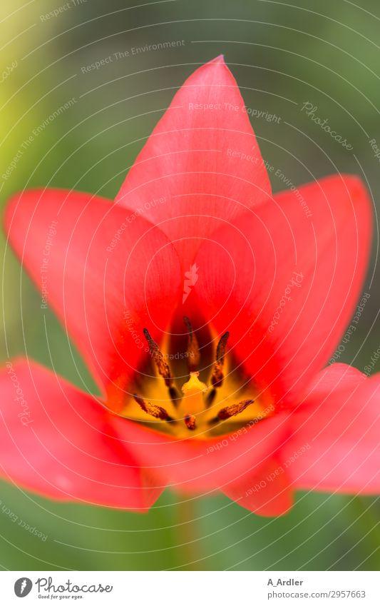 rote Tulpe mit Blick auf den Blütenstempel Natur Pflanze Frühling Schönes Wetter Blume Garten Park Blühend Duft Wachstum schön gelb grün Lebensfreude
