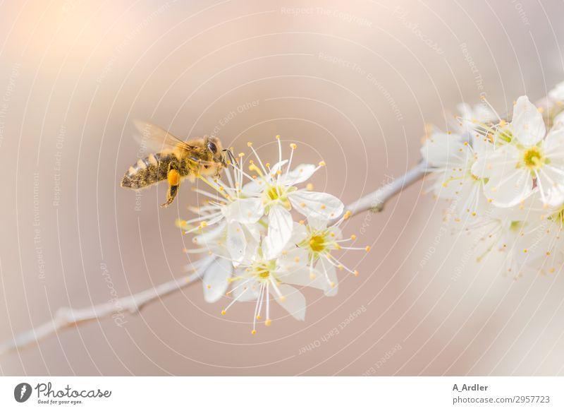 Honigbiene kurz vor der Landung (Apis mellifera) Natur Sommer Pflanze schön weiß Baum Tier gelb Blüte Frühling Gefühle Garten rosa fliegen Park elegant