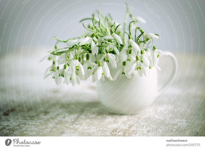 Schneeglöckchen grün schön weiß Pflanze Blume Liebe Leben grau natürlich träumen Stimmung frisch Fröhlichkeit Tisch niedlich Romantik